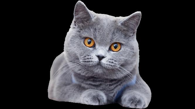 https://catclubvictoriagdansk.pl/wp-content/uploads/2021/02/Brytyjski-removebg-preview.png