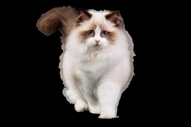 https://catclubvictoriagdansk.pl/wp-content/uploads/2021/02/rag-removebg-preview.png