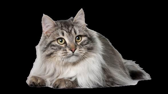 https://catclubvictoriagdansk.pl/wp-content/uploads/2021/05/Kot_syberyjski_14-588x330-removebg-preview.png