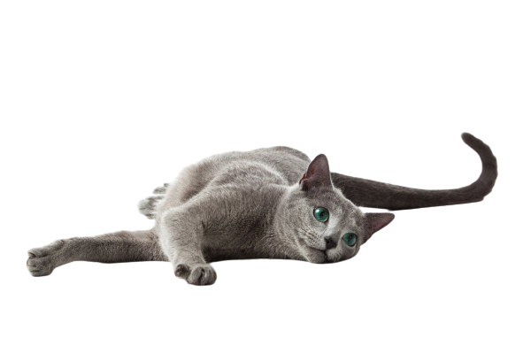 https://catclubvictoriagdansk.pl/wp-content/uploads/2021/05/depositphotos_10067741-stock-photo-russian-blue-cat-on-white-removebg-preview.png
