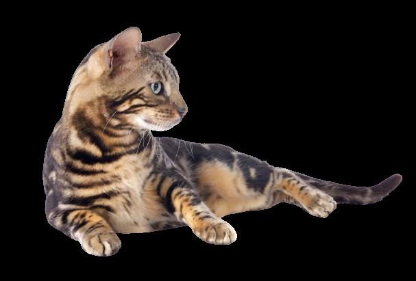 https://catclubvictoriagdansk.pl/wp-content/uploads/2021/05/kot-bengalski-1769x1200-removebg-preview.png
